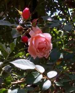roses - steaming kits 7